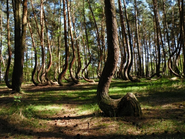 Кривой лес (10)