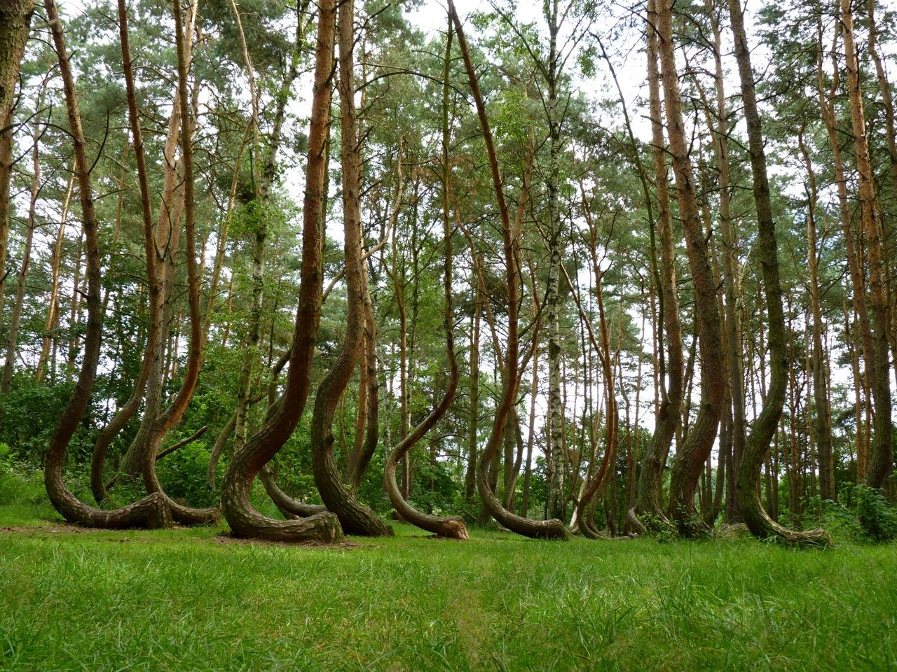 Кривой лес (11)