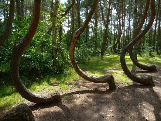 Кривой лес (12)