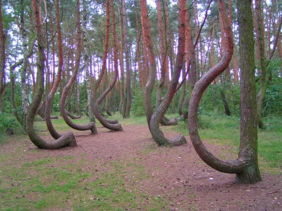 Кривой лес (2)