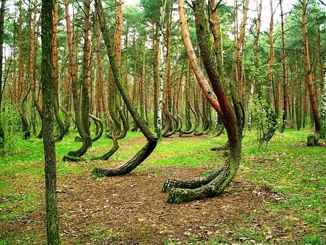 Кривой лес (4)