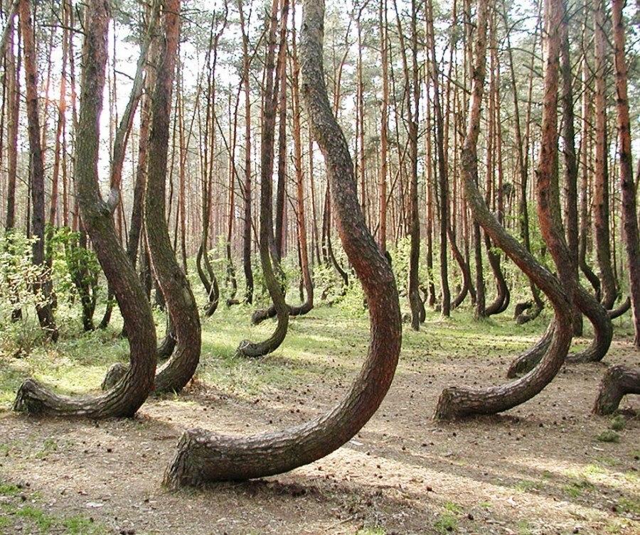 Кривой лес (5)