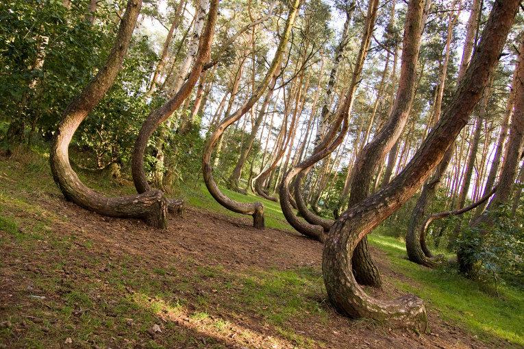 Кривой лес (6)