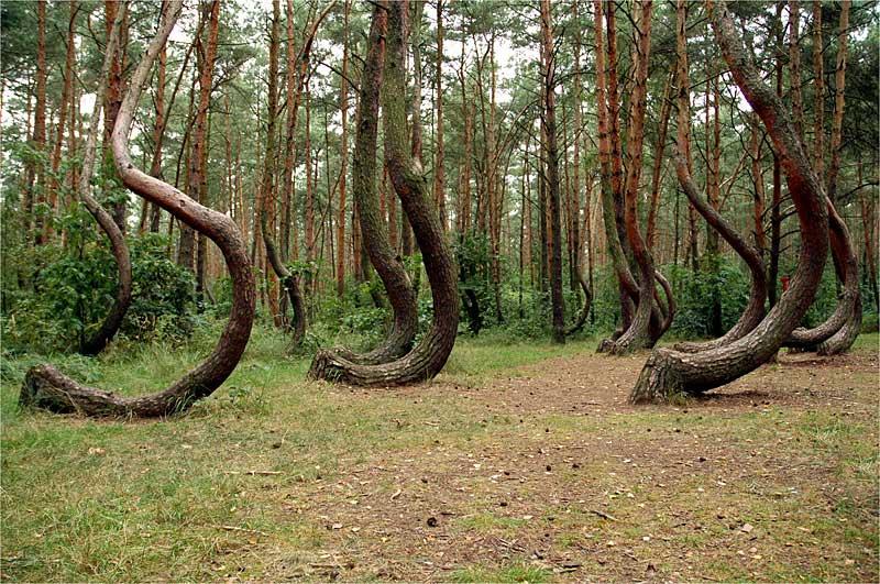 Кривой лес (7)