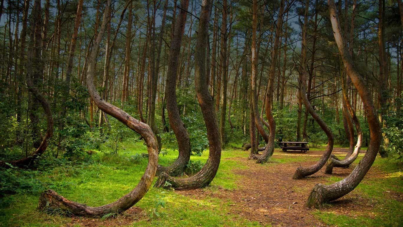 Кривой лес (8)