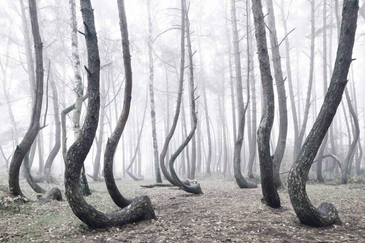 Кривой лес (9)