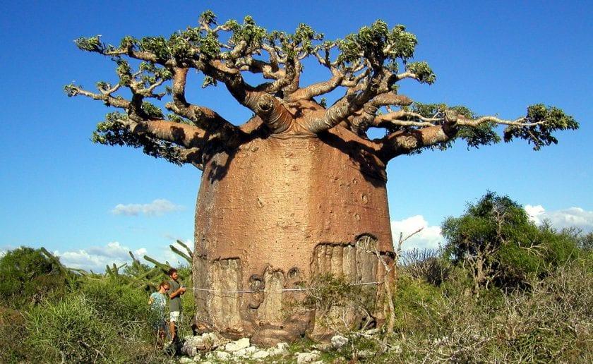 Gigantskiy-baobab