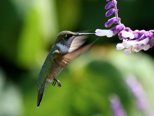 Kolibri-Ptitsa-18