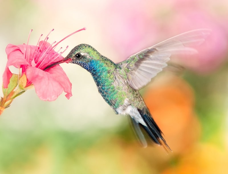 Kolibri-Ptitsa-2