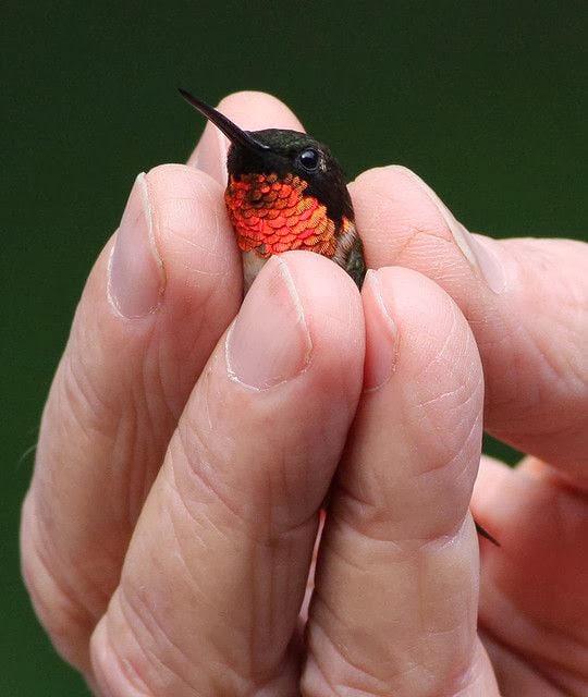 Kolibri-Ptitsa-25
