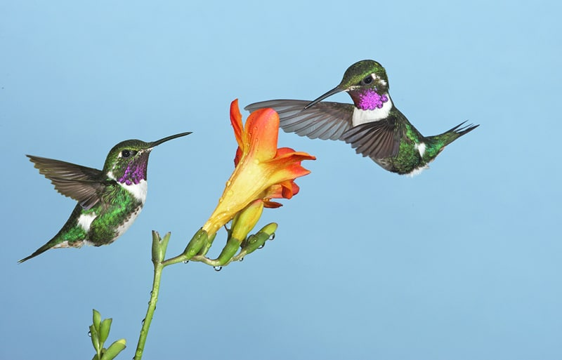 Kolibri-Ptitsa-27