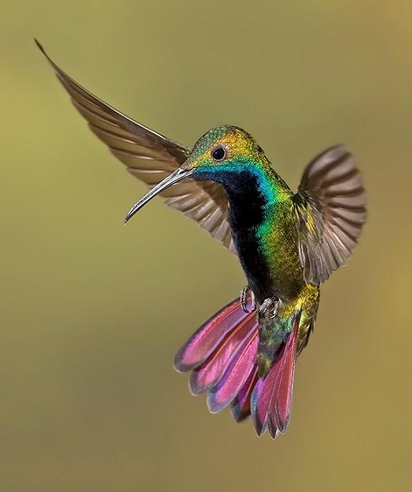 Kolibri-Ptitsa-5