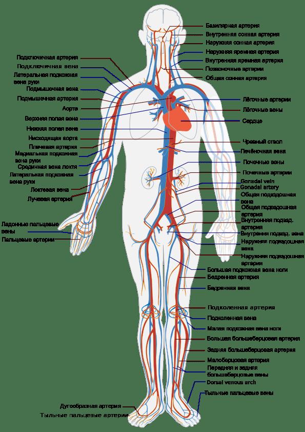 Krovenosnaya-sistema-cheloveka