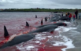 Массовое убийство черных дельфинов в Дании