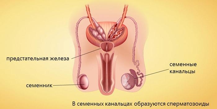 Muzhskie-polovyie-organyi