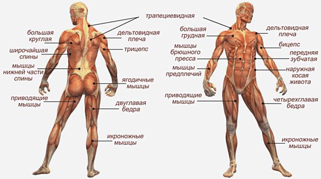 Myishtsyi-cheloveka