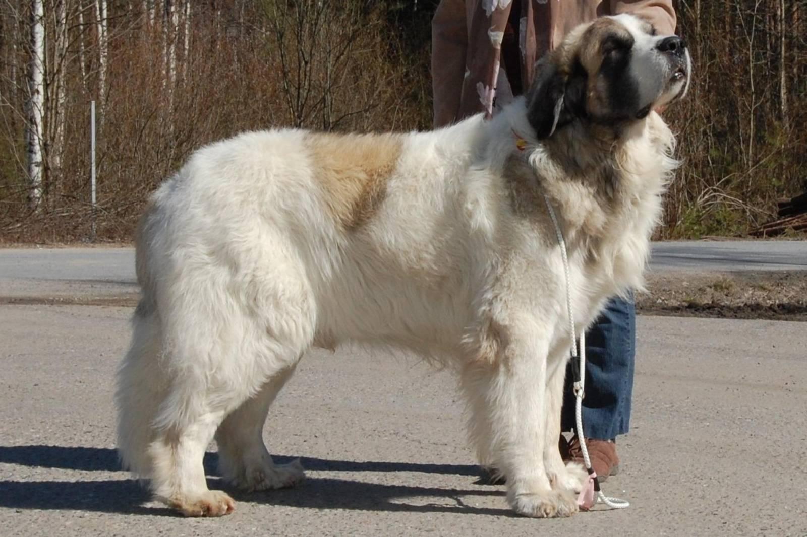Pireneyskiy-mastif-Samyie-bolshie-sobaki