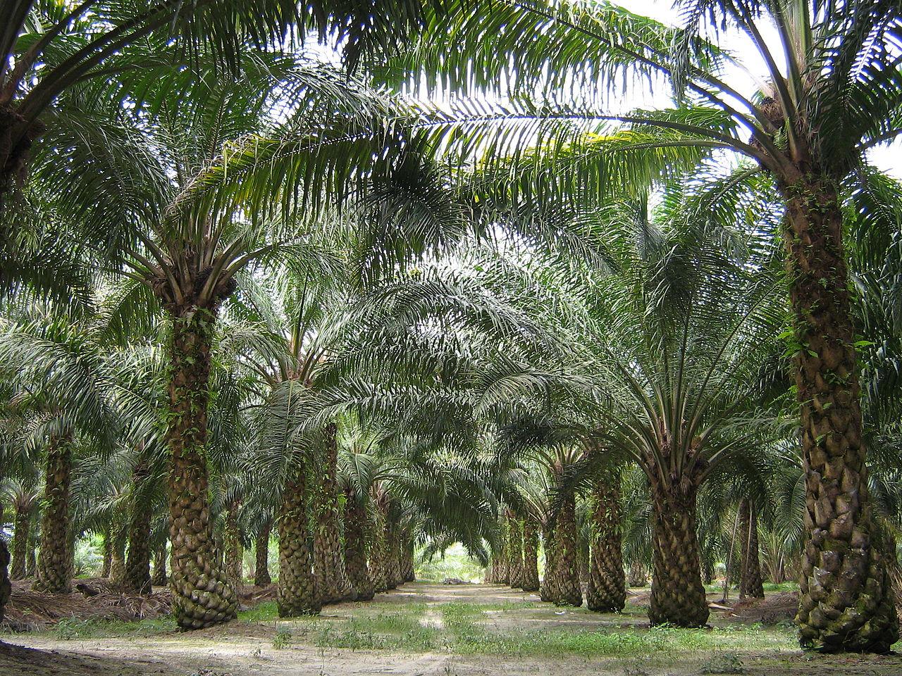 Plantatsiya-maslichnyih-palm