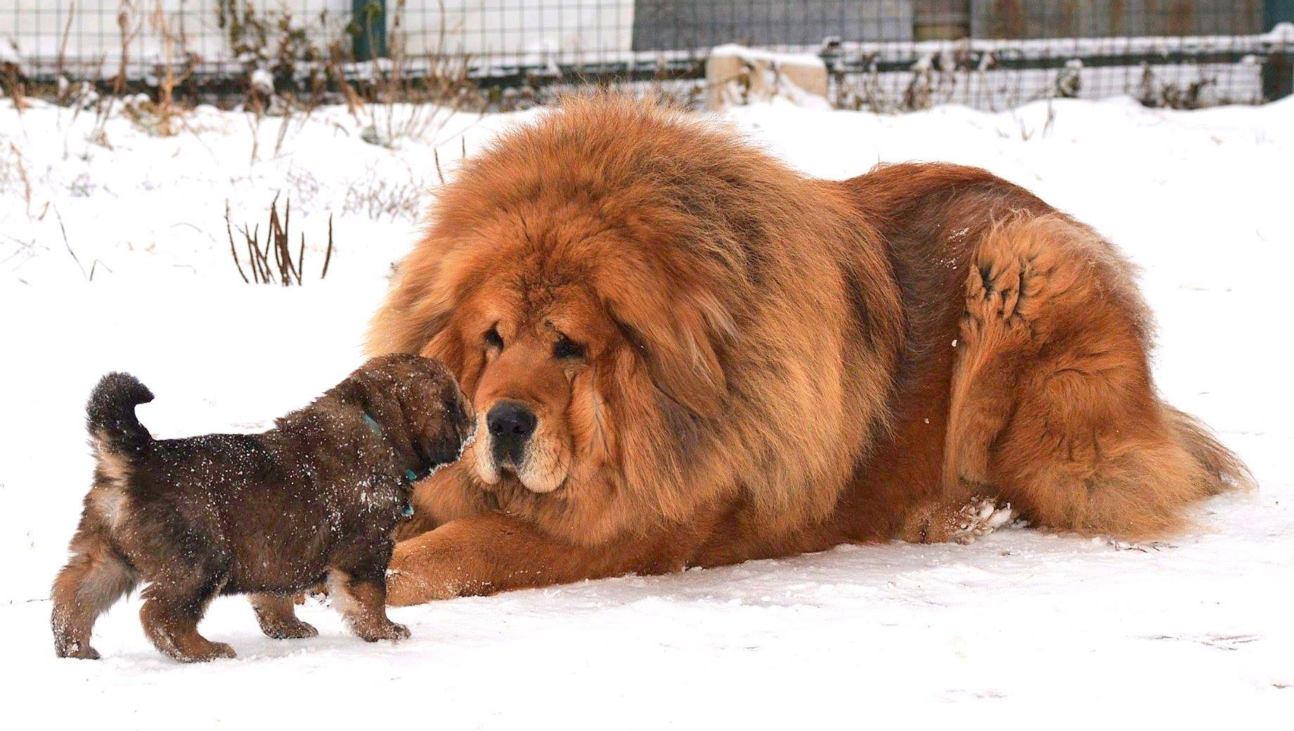 Tibetskiy-mastif-Samyie-bolshie-sobaki