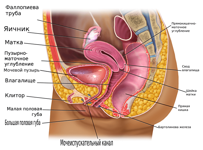 ZHenskie-tazovyie-organyi-v-prodolnom-razreze